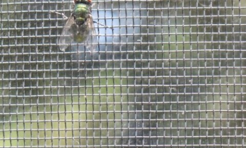 housefly-caught-screen-window-kitchen-2012-07-08-cropped-580x348-500x300
